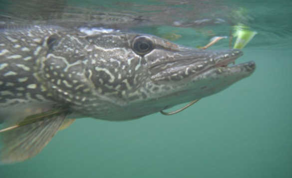 Underwater close up picture of the head of a pike/