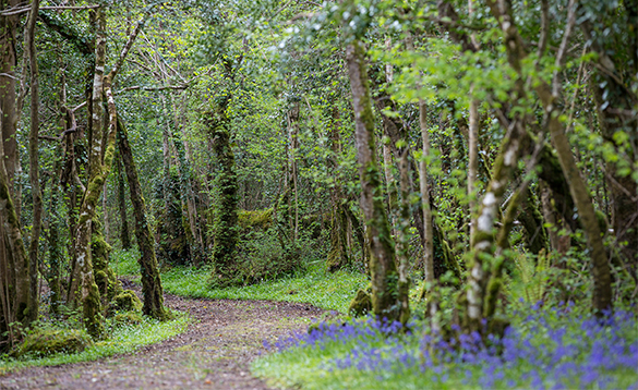 Pathway winding through a wood with bluebells flowering/