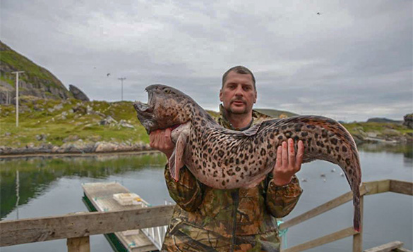 angler stood on a wooden jetty holding a spotted wolf fish/