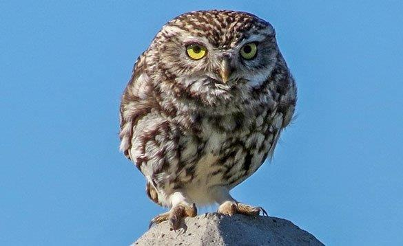 close up picture of a little owl standing on a rock and looking directly at you/
