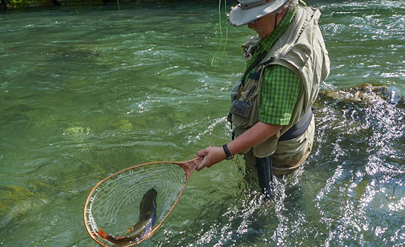 Fly angler nets small river fish/