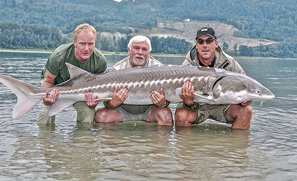Three anglers holding a huge great white sturgeon from the Fraser River in Canada/