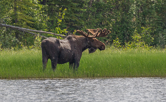 Large moose standing at the edge of a river in the Yukon/