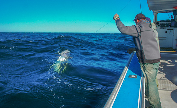 angler on a boat reeling in a large Blue-fin tuna fish/