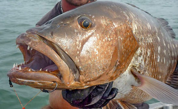 Close up of the head of a snapper fish caught in Guinea Bissau/