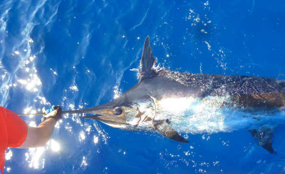 Blue Marlin fish in the blue waters around Madeira/