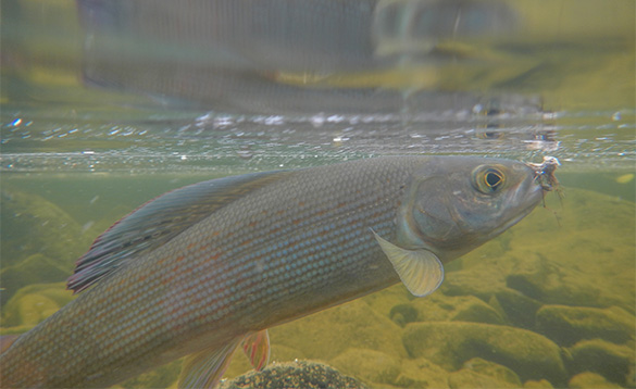 Grayling fish just beneath the surface of a river in Mongolia/