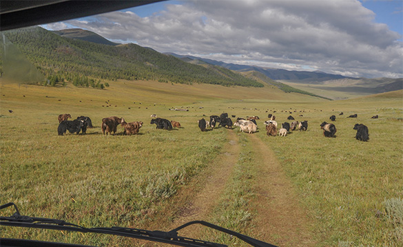 Tracks through grassland in Mongolia leading to a herd of yaks/