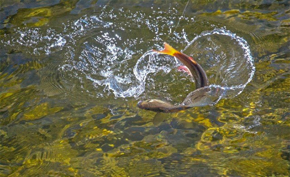 Trout fighting against a fishing line and splashing the water in a river in Mongolia/