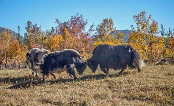 Yaks stood beside autumnal trees in Mongolia/