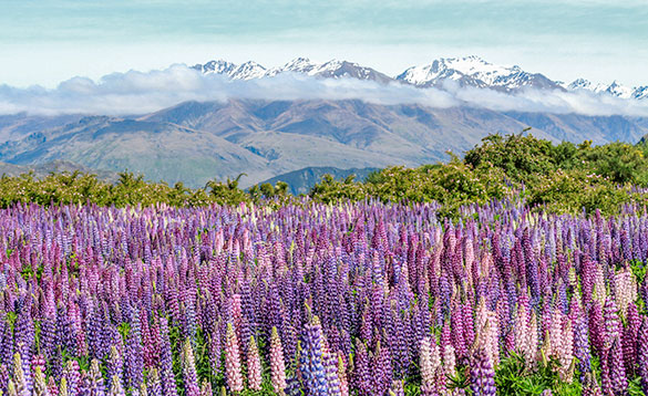 Wild lupins create a colourful field/