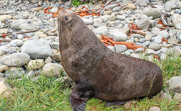 South Island Fur Seal/