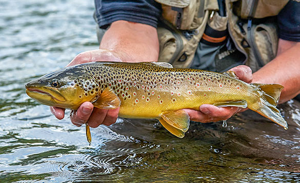 norway brown trout being released/