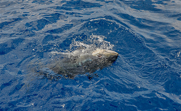 Bluefin tuna just breakig through the surface of the Mediterranean/
