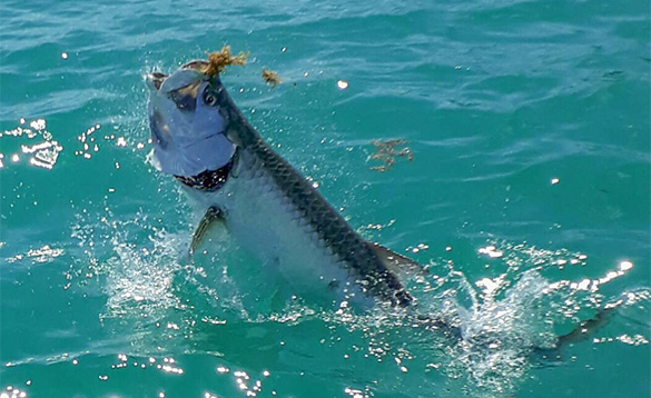 Tarpon caught in Florida leaping out of the sea/