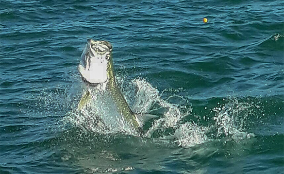 Tarpon leaping out of the blue seas around Florida/