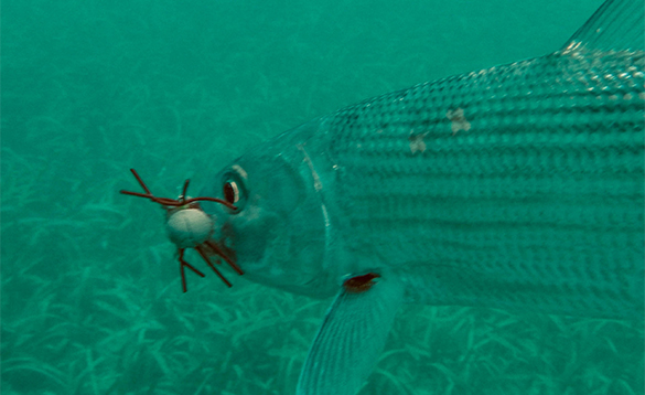 Underwater shot of a Bonefish caught on a fly in Belize/
