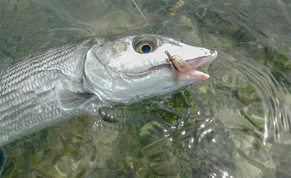 Bonefish caught on a fly in Belize/
