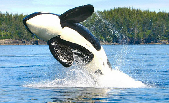 killer whale leaping out of the water /