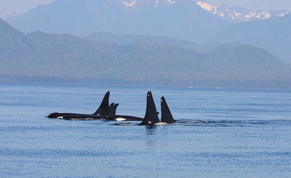 Pod of Orcas swimming in the seas around Tofino, Canada/