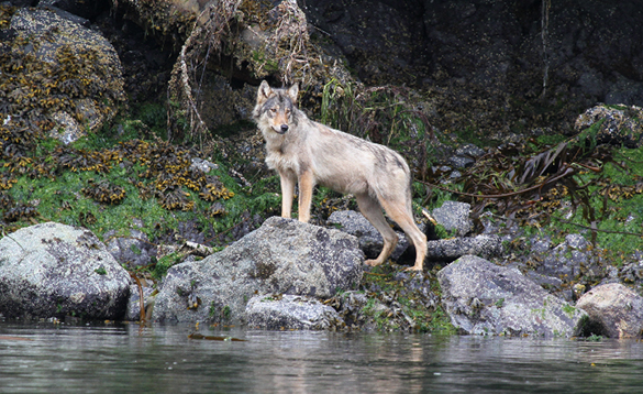 Wolf standing on rocks beside a river in Tofino, Canada/