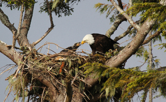 Eagle feeding a chick in a nest/