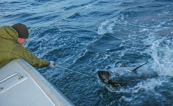 angler reaching over the side of a boat to hook a Blue-fin tuna fish /