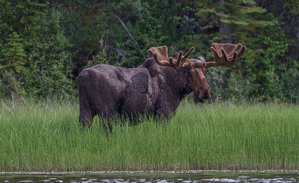 Moose standing in grass/