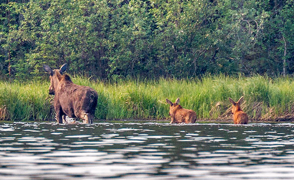 Female moose and two calves wading through a river/