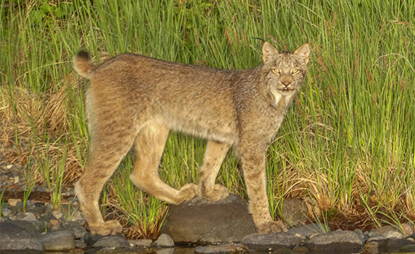 Lynx cat walking on rocks beside a river/