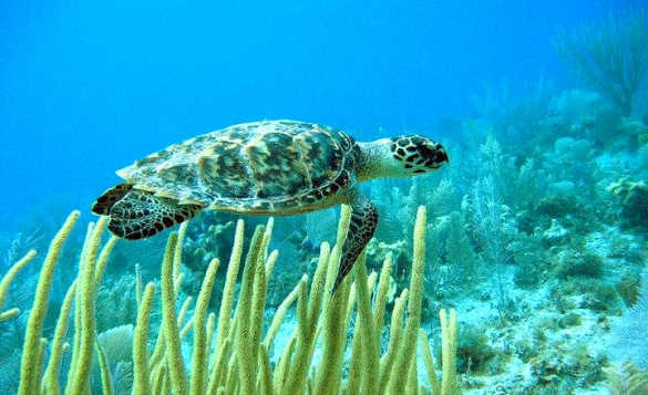 Turtle swimming amongst the reefs in Little Cayman/