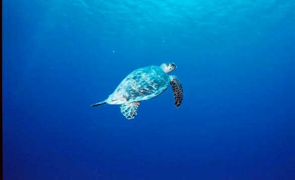 Turtle swimming through the Caribbean Sea near Little Cayman/