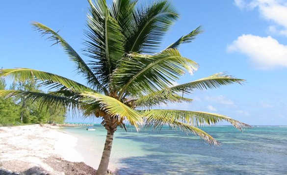 Palm tree on a sandy beach in Little Cayman/