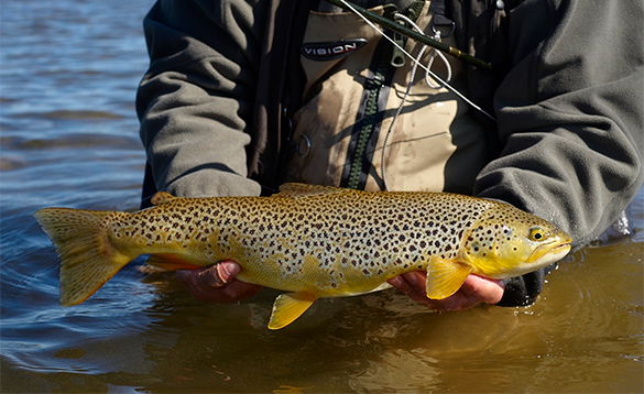Angler holding a brown trout caught in Iceland/