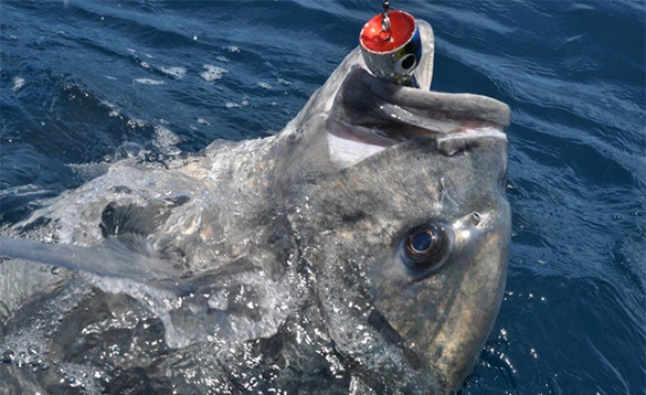 Close up of the head of a GT fish caught in the Andaman Islands/