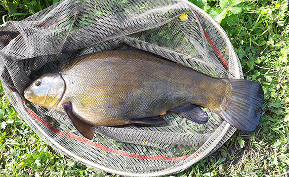 Tench in a landing net caught in Ireland/