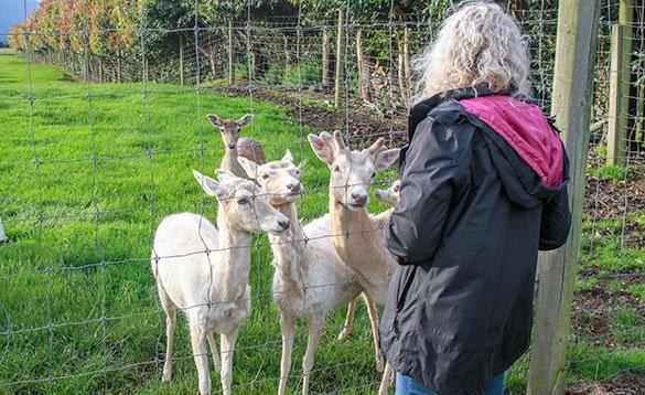 lady lookingat four white deer in a pen/