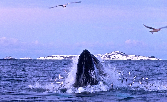 Humpback whale feeding in a fjord in north Norway/