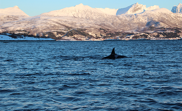 Orca swimming in a fjord in north Norway/