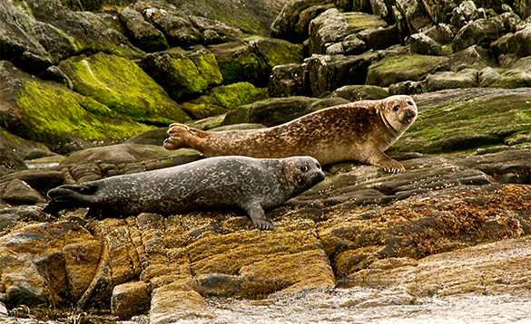 Two seals on rocks in Norway/