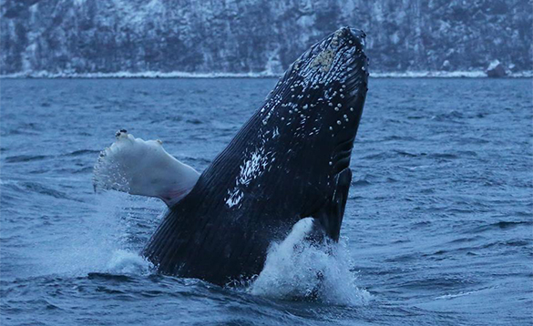 Humpback whale jumping out of a fjord in north Norway/
