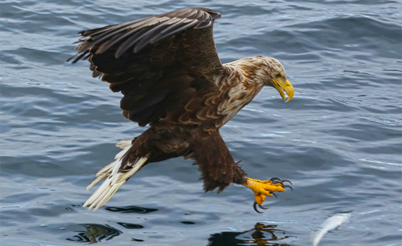 Sea eagle in flight just about to take a fish from a fjord in north Norway/