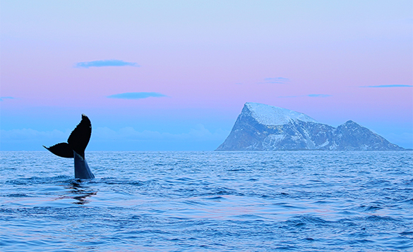 Tail of a humpback whale raising out of a fjord in north Norway/