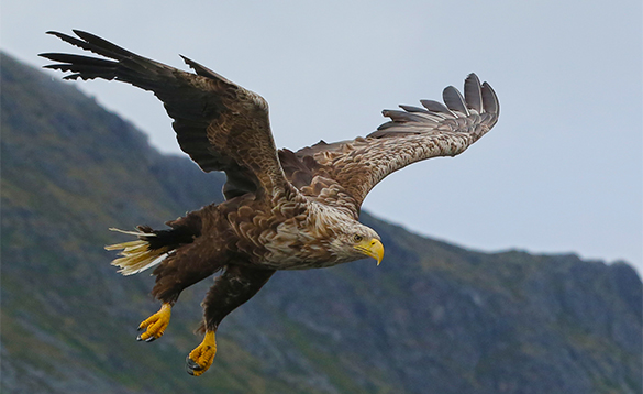Sea eagle in flight in Norway/