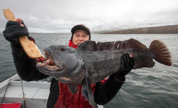 Angler holding a wolf fish caught in the waters around Tromso, North Norway/