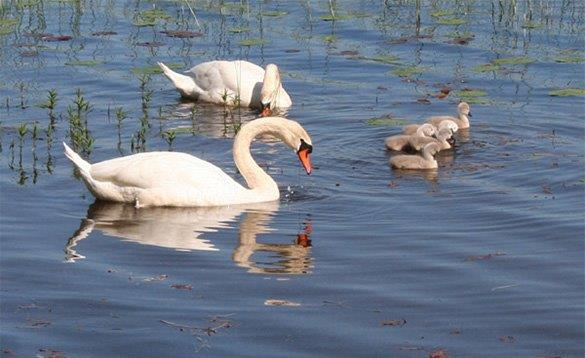 Two swans and cygnets swimming on a lake in Sweden/