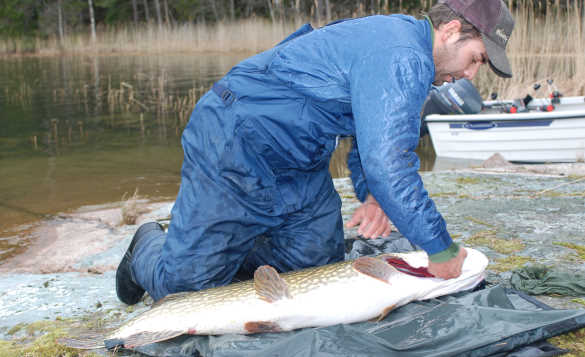 Guided pike fishing, Sweden/