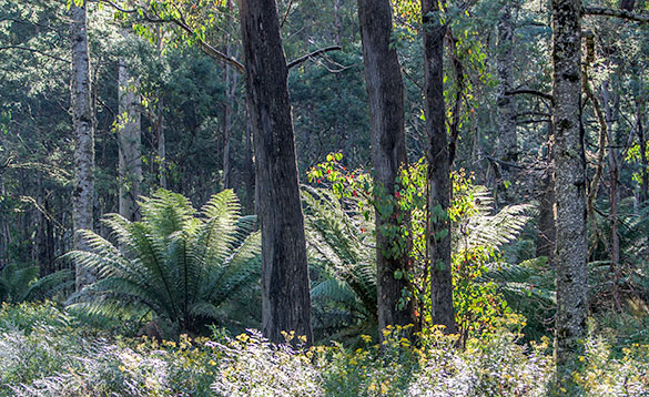 tasmanian bush picture showing large ferns amongst trees/