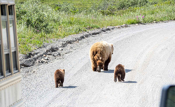 Bear and two cubs walking along a dirt roadway/