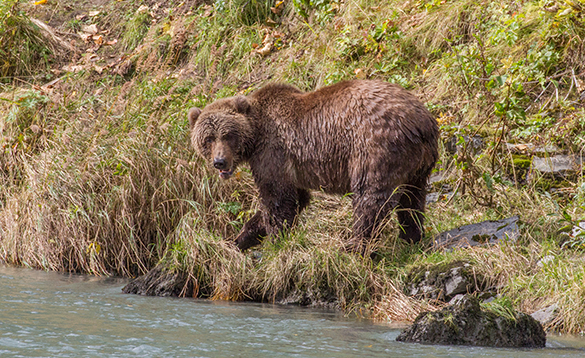 Brown bear walking along a riverbank in Alaska/